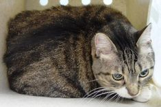 MATILDA - 17130 - - Brooklyn  *** TO BE DESTROYED 01/03/18 *** Matilda is a 9 year old white and brown tabby cat who was surrendered by her owner due to behavior concerns. The owner stated he got Matilda from a friend when she was 8 weeks old. Please consider helping Matilda today. -  Click for info & Current Status: http://nyccats.urgentpodr.org/matilda-17130/
