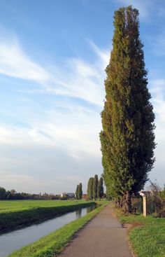 Go for high impact and don't buy just one. These trees have got you – or at least that ugly view – covered! The Lombardy Poplar shoots skyward to 40-50 feet or more. And by shooting skyward, we mean that it rockets at a pace of 1 to 6 feet per year! Very few other screening trees will grow this fast. & In fall the leaves turn a classic shade of autumn yellow! Double tap to show this tree some love…