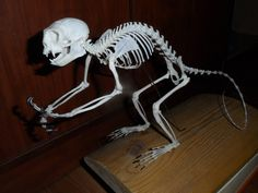 Image result for lemur skeleton