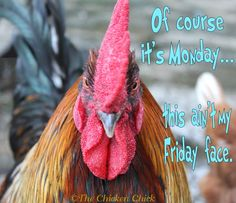 Of course it's Monday...this ain't my Friday face. #chickens #Monday