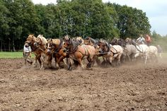 A span of 20 Belgian draft horses by Gerard Bijvank, via Flickr