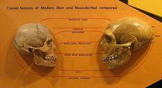 Anatomically modern humans vs. neanderthal