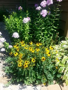 Sunflower take over along with the summer phlox...tom and debbie...2013