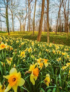 Daffodil details This hillside of daffodils (Narcissus) features classic yellow varieties that thrive in Midwest gardens. Bulbs naturally reproduce by division and spread if their foliage is allowed to mature, so mowing should be avoided. To bring the blooms to your yard, plant bulbs 4–6 inches deep in well-drained soil in the fall before frost. They will do best in full sun to light shade.