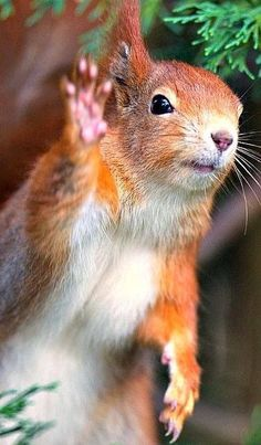 See ya later. ❊ (see more great squirrel pins on **Feelin' Squirrely** group board) TOO FUNNY, OUI ! Nature Animals, Animals And Pets, Baby Animals, Squirrel Pictures, Funny Animal Pictures, Cute Squirrel, Squirrels, Photo Animaliere, Mundo Animal