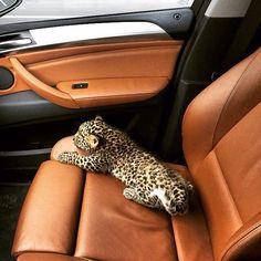 Leopard it is soooooo small and cute! Cute Funny Animals, Cute Baby Animals, Animals And Pets, Cute Cats, Beautiful Creatures, Animals Beautiful, Exotic Pets, Fur Babies, Dog Cat