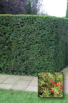 eibe die taxus arten eiben werden aus gutem grund als k nig der heckenpflanzen bezeichnet. Black Bedroom Furniture Sets. Home Design Ideas