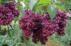 Image result for lilac bush
