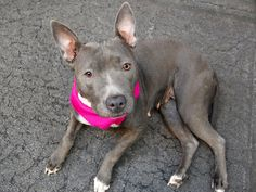 TO BE DESTROYED 06/13/14 Manhattan Center -P  My name is GARNET. My Animal ID # is A1001477. I am a female gray and white pit bull mix. The shelter thinks I am about 3 YEARS old.  I came in the shelter as a STRAY on 05/30/2014 from NY 10452, owner surrender reason stated was STRAY. https://www.facebook.com/photo.php?fbid=814306778582203set=a.611290788883804.1073741851.152876678058553type=3theater