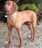 Redbone Coonhound: Training Tips For Redbone Coonhound Dog Breeds