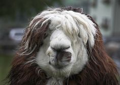 A lama or a dog on drugs ?