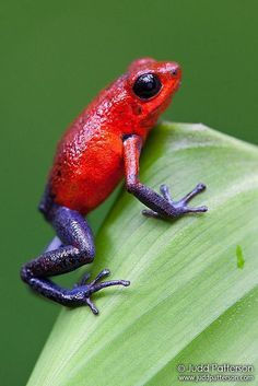 Strawberry poison-dart frog.