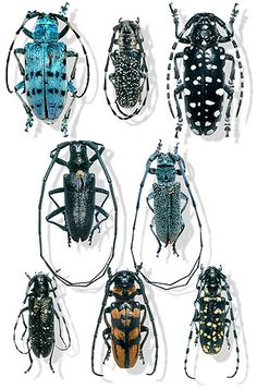 Long Horn Beetles