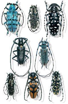 Long Horn Beetles