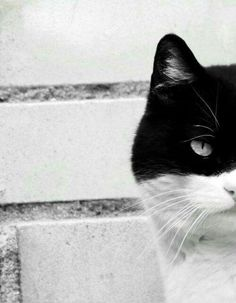 Crazy Cat Lady, Crazy Cats, Cool Cats, I Love Cats, Son Chat, Animal Gato, Black And White, White Cats, Domestic Cat