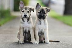 Two Really Cute Puppies - A Place to Love Dogs Really Cute Puppies, I Love Dogs, Cute Dogs, Adorable Puppies, Baby Animals, Cute Animals, Cute Puppy Wallpaper, Puppies Wallpaper, Sweet Dogs