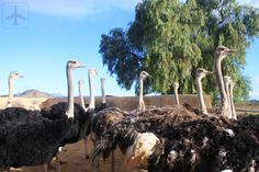 Enroute to Kynsna, we stoopped by Oudshoorn to check out the Ostrich Farm. The Ostrich, Self Driving, South Africa, Check, Travel, Animals, Rice, Animales, Viajes