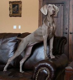 Elegance...Lady of the house. Weimaraner!