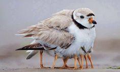 Photo: Semipalmated Plover by Rafael Solano (Costa Rica.)
