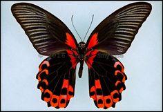 Papilio Rumanzovia -Male -Verso -Philippines -(4 in wingspan). The Common name for Papilio Rumanzovia is 'Scarlet Mormon'.