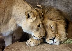 Our power couple, Etosha and M'bari, have been described as an old married couple. #lions