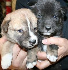 35 best dingo images on pinterest cutest animals doggies and