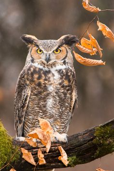 Great Horned Owl by Don Carter*