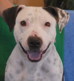 Eva is beaming -- so happy to be off of the mean streets, getting regular & nutritious meals, and on track for a bright & loving future.  Eva is 2 years young, a pretty Bully mix, now spayed and debuting for adoption today at Nevada SPCA (www.nevadaspca.org).  Eva is very social and happiest when she's at your side.  She is good with children too.  Please help us find her a wonderful, stable, forever home.