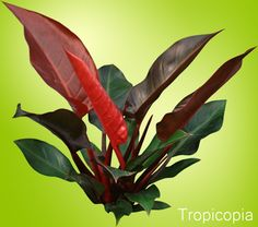 HousePlants with Beautiful leaves: Philodendron Imperial Red has glossy bright green and red oval shaped leaves spaced very close together. The stiff stem, keeps the Imperial Red upright and elegant looking. Red Plants, Cool Plants, Nature Plants, Tropical Garden, Tropical Plants, Plant Lighting, Plants Are Friends, House Plant Care, Best Indoor Plants