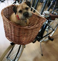 I love to ride in the Basket on Mum's Bike. She gives me treats for guarding her Bike for her'- Cute Border Terrier Dog Terrier Breeds, Terrier Dogs, Terrier Mix, White Terrier, Border Terrier, Best Dog Breeds, Best Dogs, Dog Bike Basket, Biking With Dog