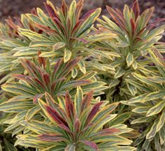 *euphorbia x martinii ascot rainbow ou euphorbe panachée persistante