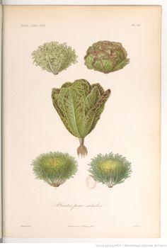 """""""Plantes pour salades"""", Le règne végétal, MM. A. Dupuis,... Fr. Gérard,... O. Réveil... [et al.]   1864-1869"""