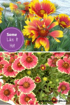 Get our tips for growing Gaillardia, also known as the blanket flower. This flower is a perennial flower native to North and South America and is a beautiful flower to add to your garden. While it looks a great deal like a daisy it is actually related to the sunflower. Gaillardia gets the name blanket flower as the red and yellow pattern on its blooms reminds one of the blankets made by Native Americans in the southwestern United States.