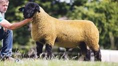 Suffolk Sheep | 25 Most Popular Breed of Sheep - Livestock Ideas for your Homestead http://pioneersettler.com/popular-breed-sheep/