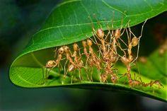 Weaver ants mending nest_P.Karunakaran by Karunakaran  Parameswaran Pillai on 500px