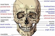 Cranial Bones in Detail Flashcards by Major external features of the human cranium and major skull bones (names in black are facial bones, red are cranial bones, blue are features of the bones) Skin Anatomy, Anatomy Bones, Human Body Anatomy, Human Anatomy And Physiology, Anatomy Study, Anatomy Reference, Cranial Anatomy, Medical Coding, Medical Science