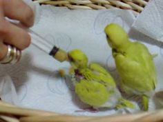 Hand feeding budgies...