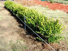 How to plant boxwood hedges
