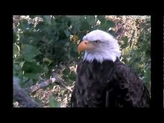 DECORAH EAGLES  JUNE 30, 2012 Watch the action live this season on ustream 24/7. From hatch to fledge. To watch how bald eagles are so caring toward their young is an experience you'll never forget.