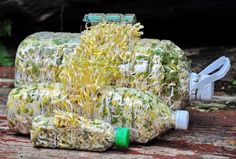 Grow Sprouts in A Recycled Plastic Bottle is Safe and Clean เพื่อสุขภาพ 2 - ฟาร์...