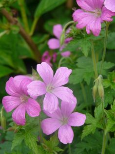 Geranium endressii 'Wargrave Pink'. Love these little flowers!