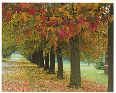 15. Liquidambar Walk – Planted in 1937 to commemorate the Coronation of King George Vl, this unusual avenue of trees forms an impressive display of autumn colour. www.ashridge.org.uk