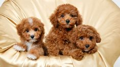 Items similar to 4 Dog Puppy Apricot Poodle Puppies Dogs Greeting Notecards/ Envelopes Set on Etsy Toy Poodle Puppies, Cute Puppies, Cute Dogs, Dogs And Puppies, Brown Puppies, Toy Poodles For Sale, Poodle Mix, Doggies, Animals And Pets