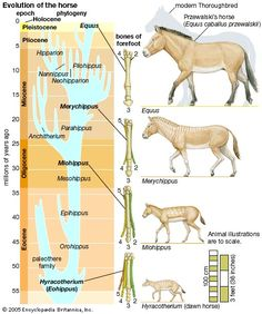 evolution of horses - Google Search Marsh used numerous fossils of horses to provide support for Darwinian evolution