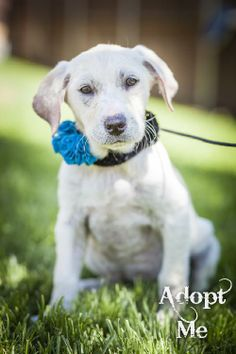 Adoptable pets in the dallas ft worth area on pinterest for Dog house for labrador retriever
