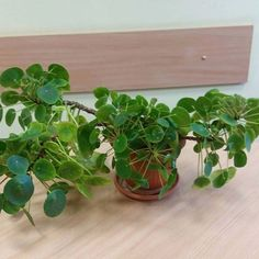@ines.maria.cecilia's amazingly individual pilea! 5 years old, and going her own way . Pilea peperomioides, in Australia, for sale at www.pileaplace.com Tag #pileaplace to be featured :)