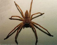 huntsman spider | Huntsman Spider | Neosparassus sp photo