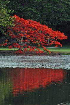✯ Royal Poinciana Blooms