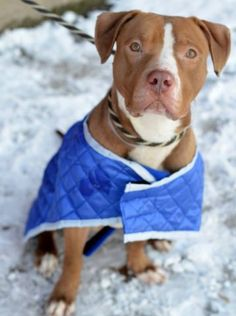 RTO CAPTAIN – A1024950 ***RETURNED 06/24/15 ***DOH HOLD RELEASED 07/07/15*** NEUTERED MALE, TAN / WHITE, AM PIT BULL TER MIX, 1 yr, 5 mos OWNER SUR – ONHOLDHERE, HOLD FOR DOH-HB Reason BITEPEOPLE Intake condition EXAM REQ Intake Date 06/24/2015, From NY 11233, DueOut Date 07/03/2015, I came in with Group/Litter #K15-019817.