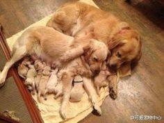 Golden Retriever Family - Imgur #goldenretriever